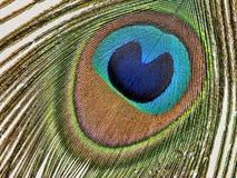 белизна павлина макроса пера детали Стоковые Фотографии RF