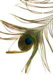 белизна павлина пера предпосылки Стоковое Изображение RF