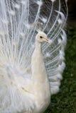 белизна павлина Стоковое Фото