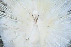 белизна павлина Стоковая Фотография RF