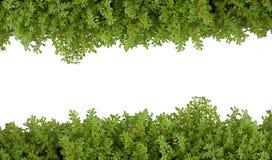 белизна папоротника предпосылки изолированная зеленым цветом Стоковая Фотография