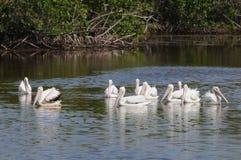 белизна пеликана болотистых низменностей Стоковые Изображения RF