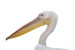 белизна пеликана детали большая Стоковые Фото