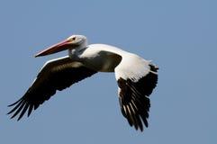 белизна пеликана полета Стоковое Изображение RF