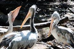 белизна пеликана птицы стоковые изображения rf