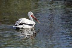 белизна пеликана Стоковые Изображения