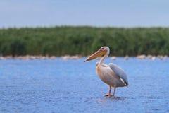 белизна пеликана Стоковое Изображение RF