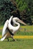 белизна пеликана Стоковые Изображения RF