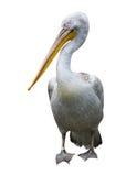 белизна пеликана Стоковое Изображение