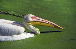 белизна пеликана duckweed Стоковое Фото