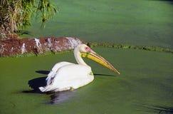 белизна пеликана duckweed Стоковые Фото