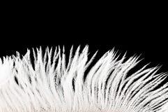 белизна пера Стоковая Фотография