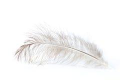 белизна пера Стоковое Изображение RF