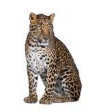 белизна переднего леопарда предпосылки сидя Стоковые Изображения