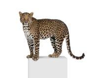 белизна переднего леопарда предпосылки сидя Стоковое Фото