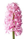 белизна пинка гиацинта цветка Стоковая Фотография