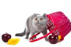 белизна пинка котенка корзины голубая великобританская Стоковые Фотографии RF