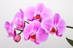 белизна пинка орхидеи предпосылки closeup Стоковая Фотография RF
