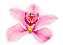 белизна пинка орхидеи цветка светлая стоковая фотография rf