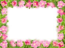 белизна пинка рамки briar флористическая стоковая фотография rf