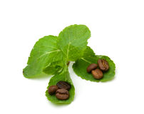 белизна пипермента кофе фасолей свежая Стоковые Изображения