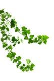 белизна плюща ветви предпосылки Стоковая Фотография RF