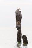 белизна пня egret птицы Стоковая Фотография RF