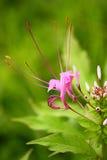 белизна показного спайдера цветка цвета бутонов лиловая Стоковое Изображение