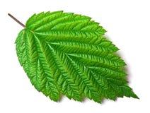 белизна поленики листьев Стоковые Изображения