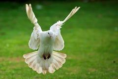 белизна полета dove Стоковое Изображение