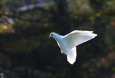 белизна полета dove Стоковое Изображение RF