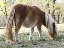 белизна пониа лошади волос Стоковое фото RF