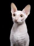 белизна портрета кота Стоковое Изображение RF