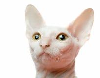 белизна портрета кота Стоковые Изображения