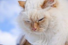 белизна портрета кота Стоковая Фотография RF