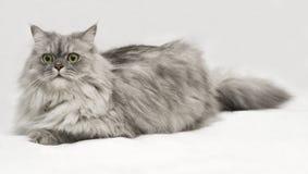 белизна портрета кота 2 предпосылок Стоковое Фото