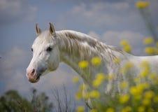 белизна портрета лошади Стоковое Фото