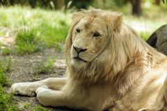 белизна портрета льва Стоковые Изображения RF