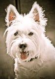 белизна портрета собаки Стоковые Изображения