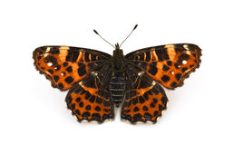 белизна предпосылки изолированная бабочкой Стоковые Изображения RF