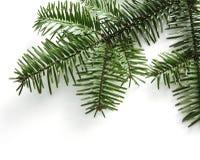 белизна предпосылки изолированная ветвью елевая Стоковые Изображения