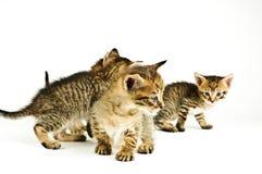 белизна предпосылки изолированная котом Стоковая Фотография