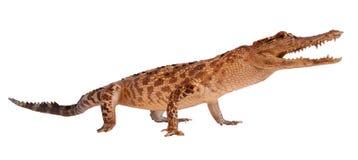 белизна предпосылки изолированная крокодилом Стоковые Изображения RF