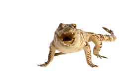 белизна предпосылки изолированная крокодилом Стоковое Фото
