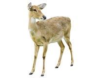 белизна предпосылки изолированная оленями Стоковое Изображение