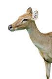 белизна предпосылки изолированная оленями Стоковая Фотография RF