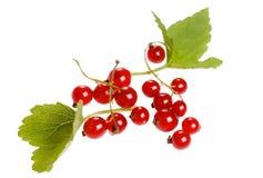 белизна предпосылки изолированная смородиной красная Стоковая Фотография
