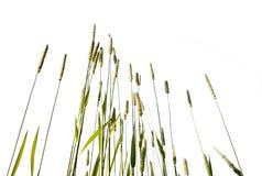 белизна предпосылки изолированная травой высокорослая Стоковое Фото