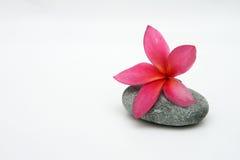 белизна предпосылки изолированная frangipani тропическая Стоковое Изображение RF