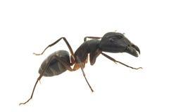 белизна предпосылки муравея большая изолированная Стоковые Изображения